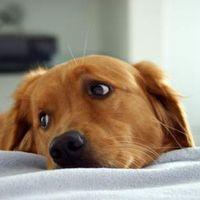 Убережем домашних любимцев: пироплазмоз у собак